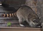 roof repair Damages Caused by Wildlife